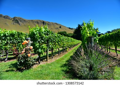 A vineyard in Hastings, Hawkes Bay in New Zealand