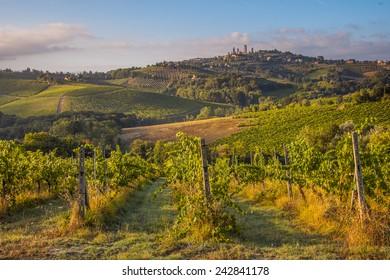 Vineyard in the hills of tuscany near San Gimignano, Italy