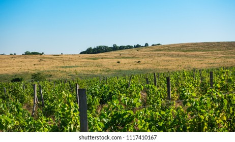 Vineyard and hillside with yellow dried grass