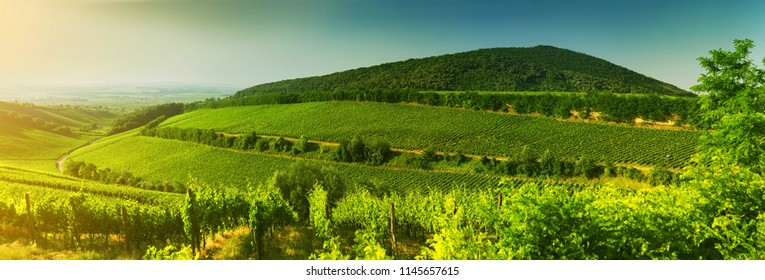 Vineyard in Hungary, panorama view