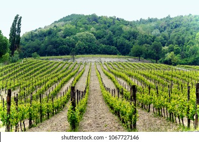 Vineyard in Italian northern valley, in a cloudy day