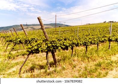 Vineyard in Italian valley, in a summer sunny day.