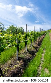 Vineyard in Italian valley, in a sunny day