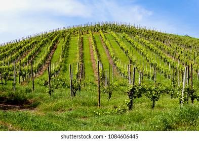 Vineyard in Italian valley, in a sunny day