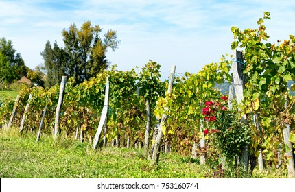 vineyard of the Jurancon wine in the French Pyrenees