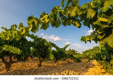Vineyard at La Rioja, Spain