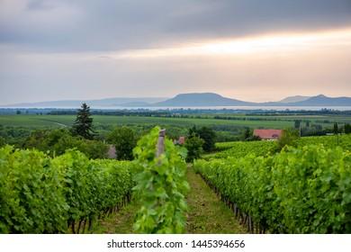 Vineyard at Lake Balaton with the Badacsony in the background
