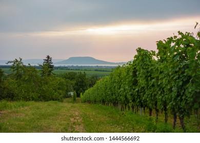 Vineyard at lake Balaton with the Badacsony mountain in the background in Hungary