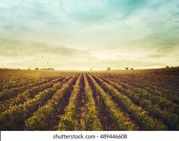 vineyard landscape. Autumn grapes harvest