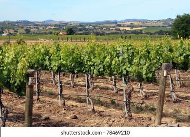 Vineyard landscape in California