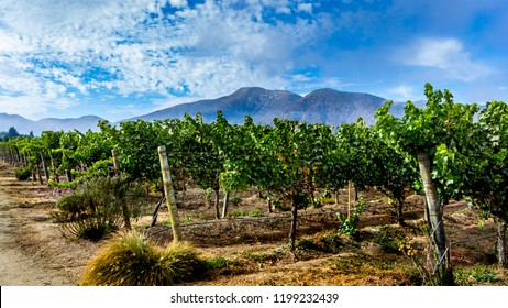 Vineyard landscape Casablanca Valley, mountains and blue cloudy sky ,Chile, wide format