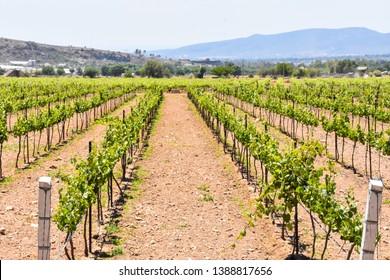Vineyard landscape in Queretaro, Mexico