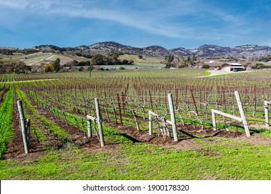 Vineyard landscape set in Napa Valley mid-January.