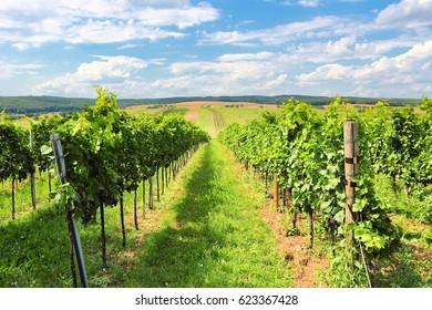 Vineyard landscape - summer in Europe. Viticulture in Burgenland, Austria.