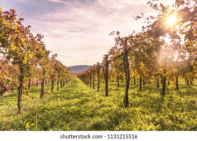 Vineyard landscape at sunset Europe