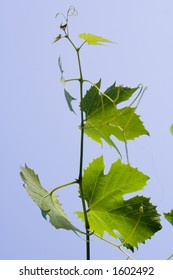 vineyard leaf