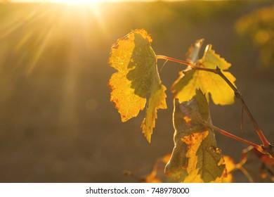vineyard leaf close up