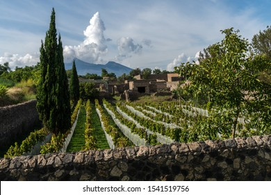 Vineyard lined up with views of Mount Vesuvius in the background
