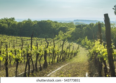 Vineyard in Lower Austria.