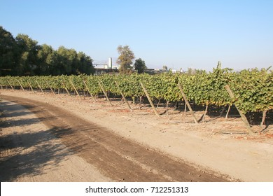 A vineyard in Maipo Valley near Santiago in Chile.