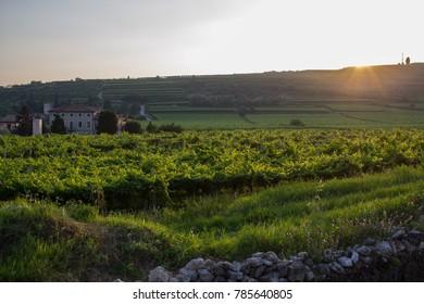 vineyard in Marano di valpolicella, veneto, Italy