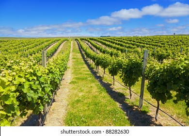 Vineyard in Marlborough wine region of New Zealand