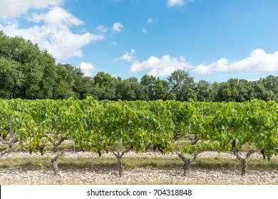 Vineyard in Medoc (France), a famous a wine-producing region near Bordeaux