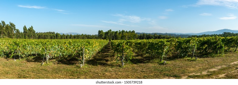 Vineyard at Moncao in the Minho region, Portugal.