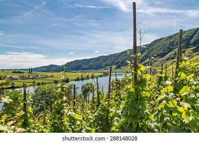 A vineyard at the Moselle on a beautiful day