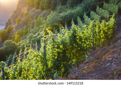 Vineyard in the Moselle valley with sunset