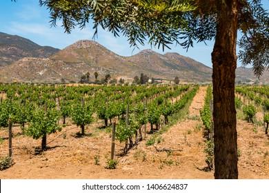 A vineyard and mountains located in Ensenada, Baja California, Mexico.