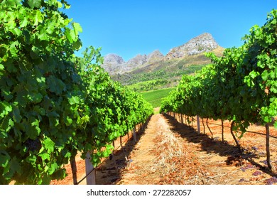 Vineyard in mountains. Shot near Somerset West/Cape Town, South Africa.