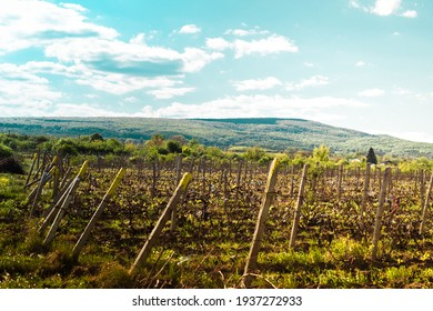 Vineyard near a forest and a mountain