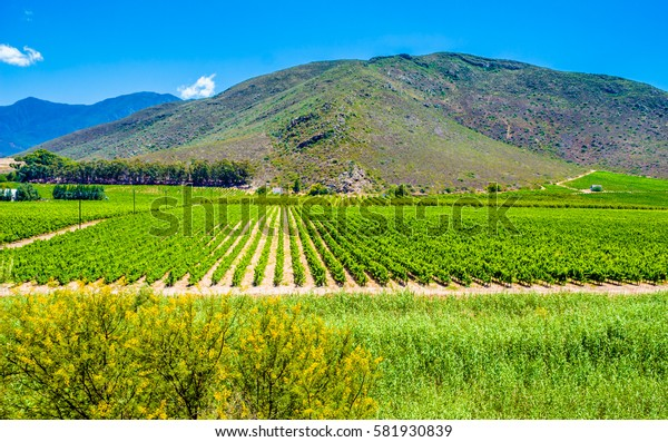 Vineyard near Montagu, South Africa - Rows of young grape vines in the summer sun