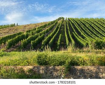 Vineyard near Neumagen-Dhron during evening light, Germany