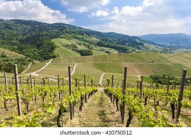 Vineyard near Oberkirch, Ortenau, Black Forest, Germany