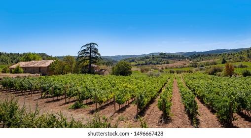 Vineyard near Saint Chinian, Languedoc, France.