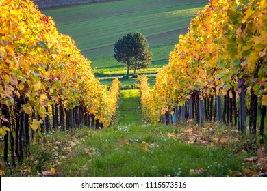Vineyard near village Berg at sunset, Burgenland, Austria
