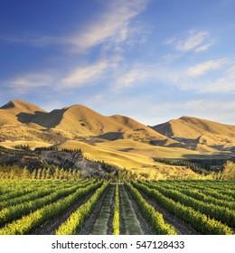 A vineyard near Waipara, in North Canterbury, New Zealand, in early morning sunlight.