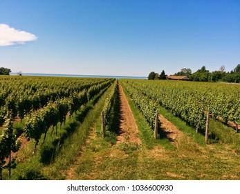 Vineyard in Niagara on the lake!