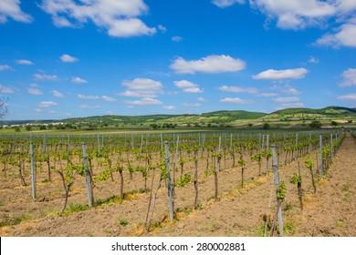 Vineyard In North Burgenland Near Donnerskichen At Bike Way Lake Neusiedl