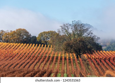 Vineyard with Oak Tree with Fall color., Sonoma County, California, USA