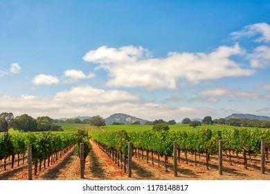 Vineyard with Oak Tree., Sonoma County, California, USA
