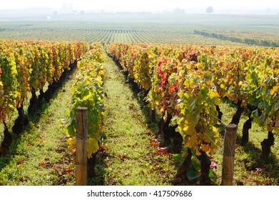 Vineyard on autumn season in Burgundy near Beaune, France, Europe