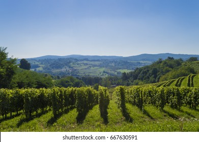 Vineyard on the hill, slavonia