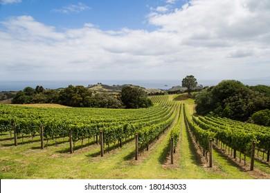 Vineyard on the hillside, Waiheke island in Hauraki Gulf, New Zealand