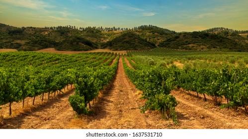 Vineyard on the road to Santiago de Navarra, Spain