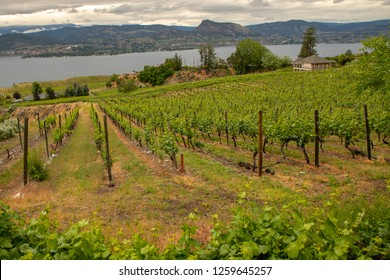 A vineyard on the slopes of Naramata in British Columbia's Okanagan wine region.
