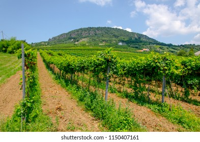 A vineyard on a summer day in Badacsony, Hungary