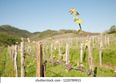 Vineyard on sunny day in early spring in western Slvenia euope